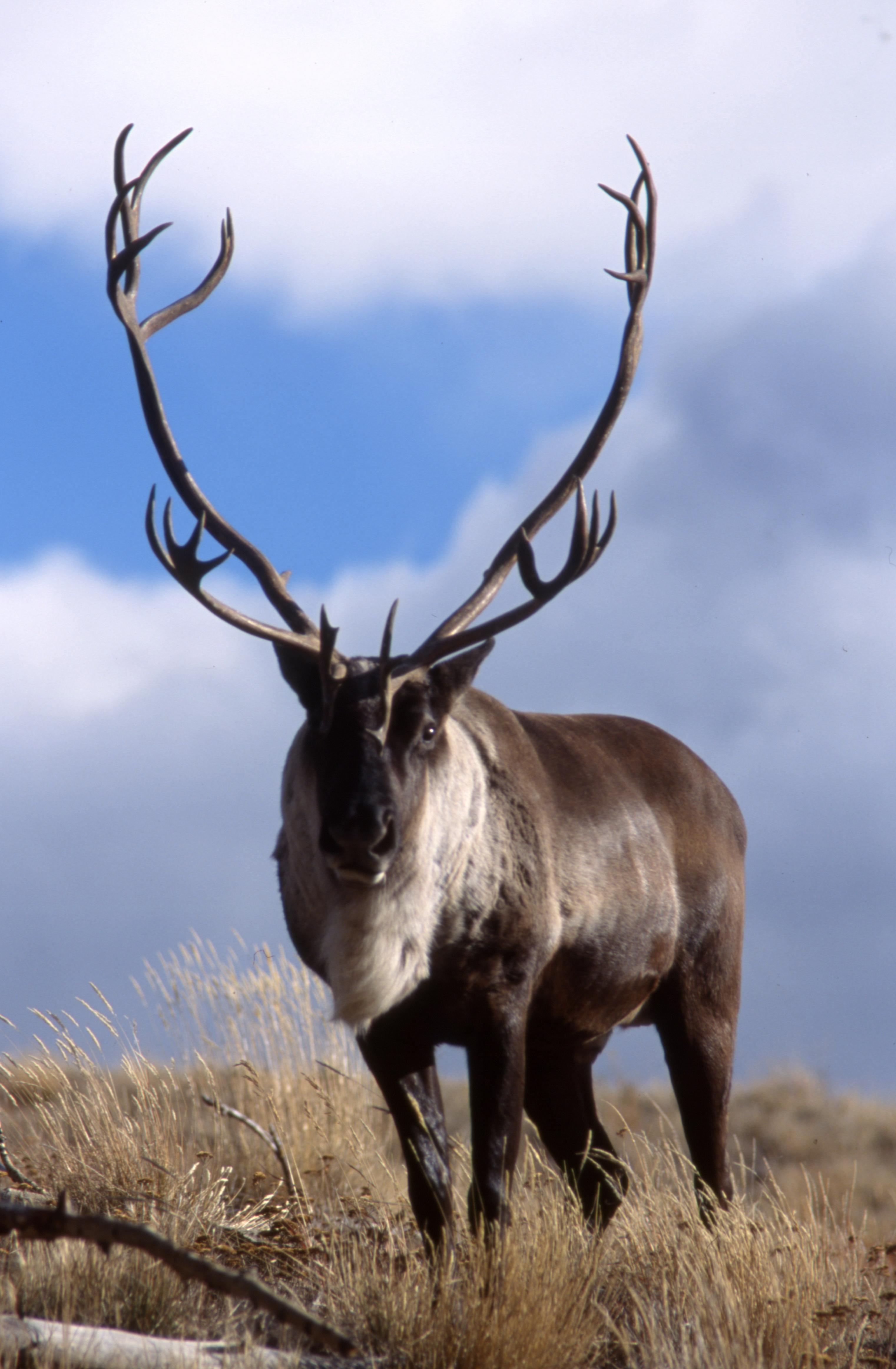 Alpine tundra caribou - photo#24